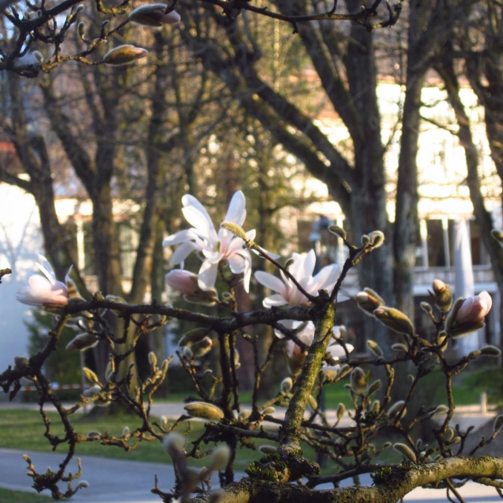 Białe magnolie.