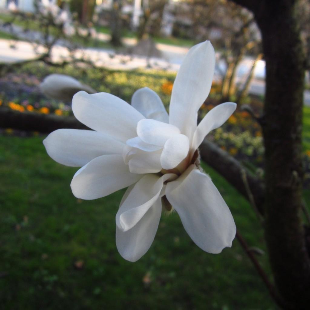 Biały kwiat magnoli.