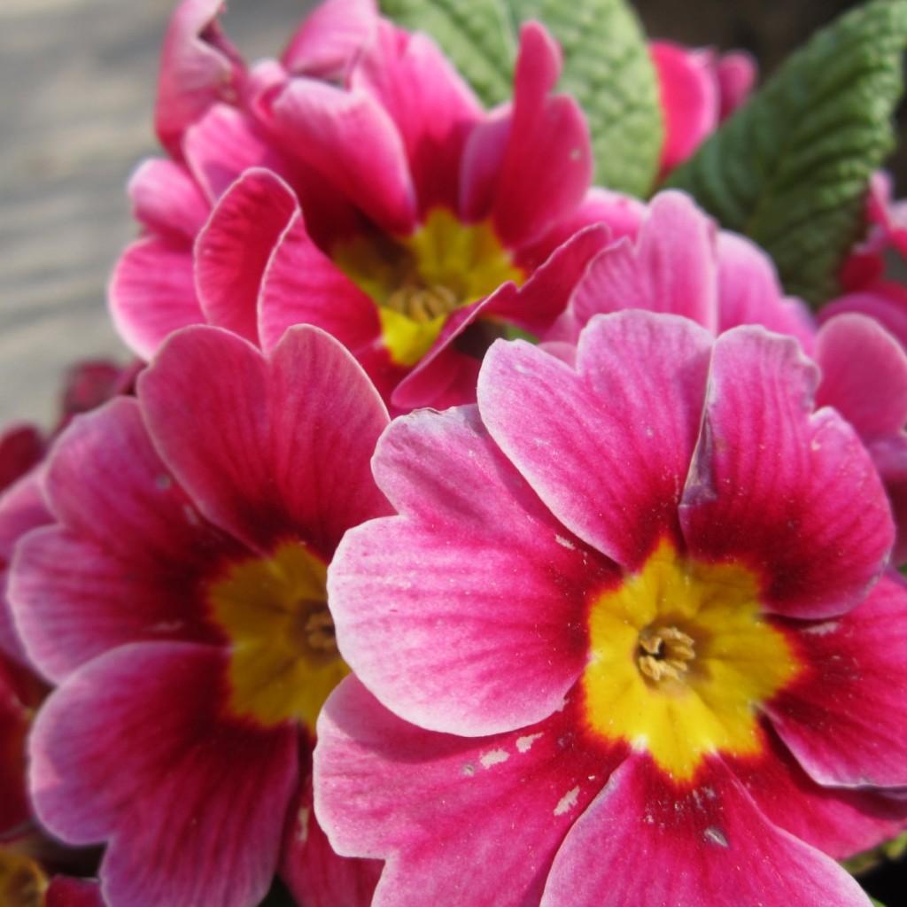 Pink Primrose.