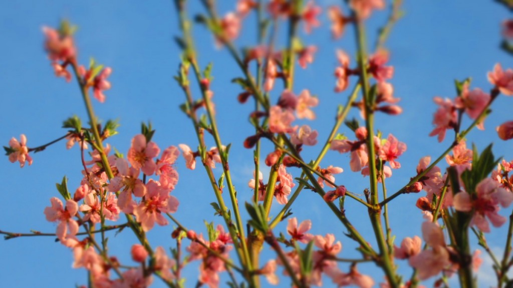 Peach Tree In Full Bloom.