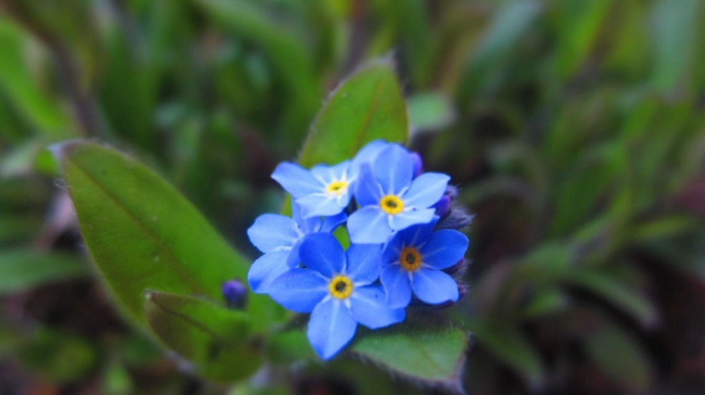 First Forgetmenot.