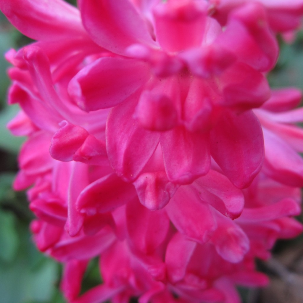 Hyacinth In Pink.