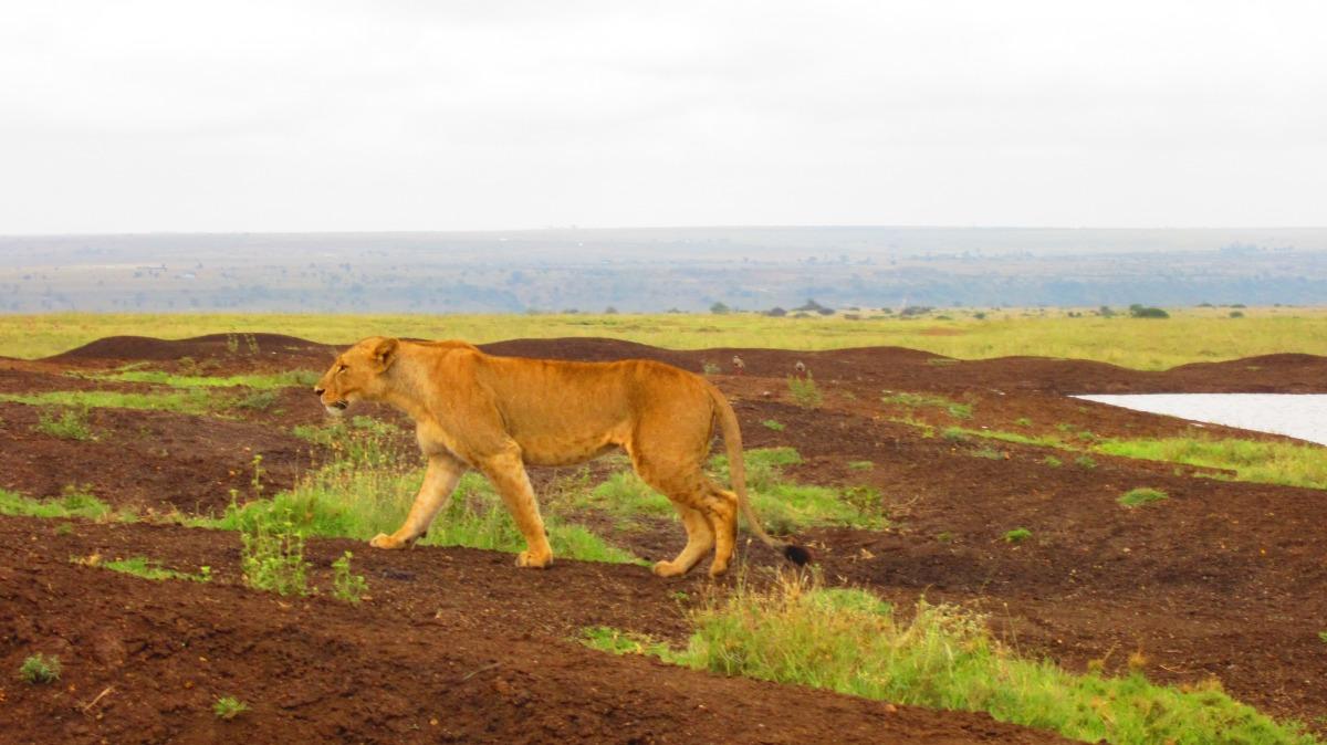 Lion..so close...