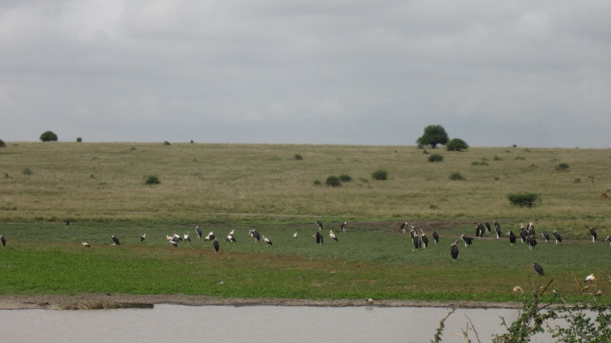 Storks From Poland Visiting The Crocodile.