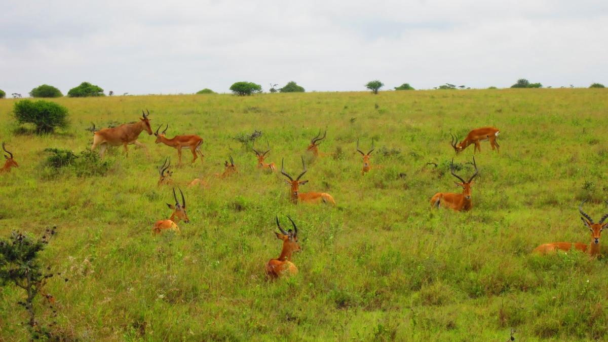Antilopes.