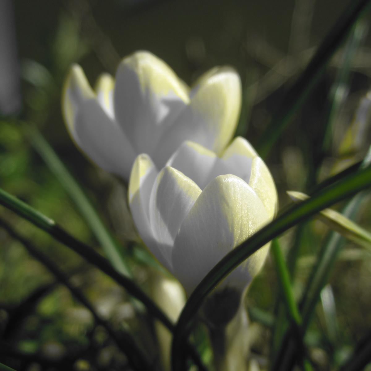 Springwhite...