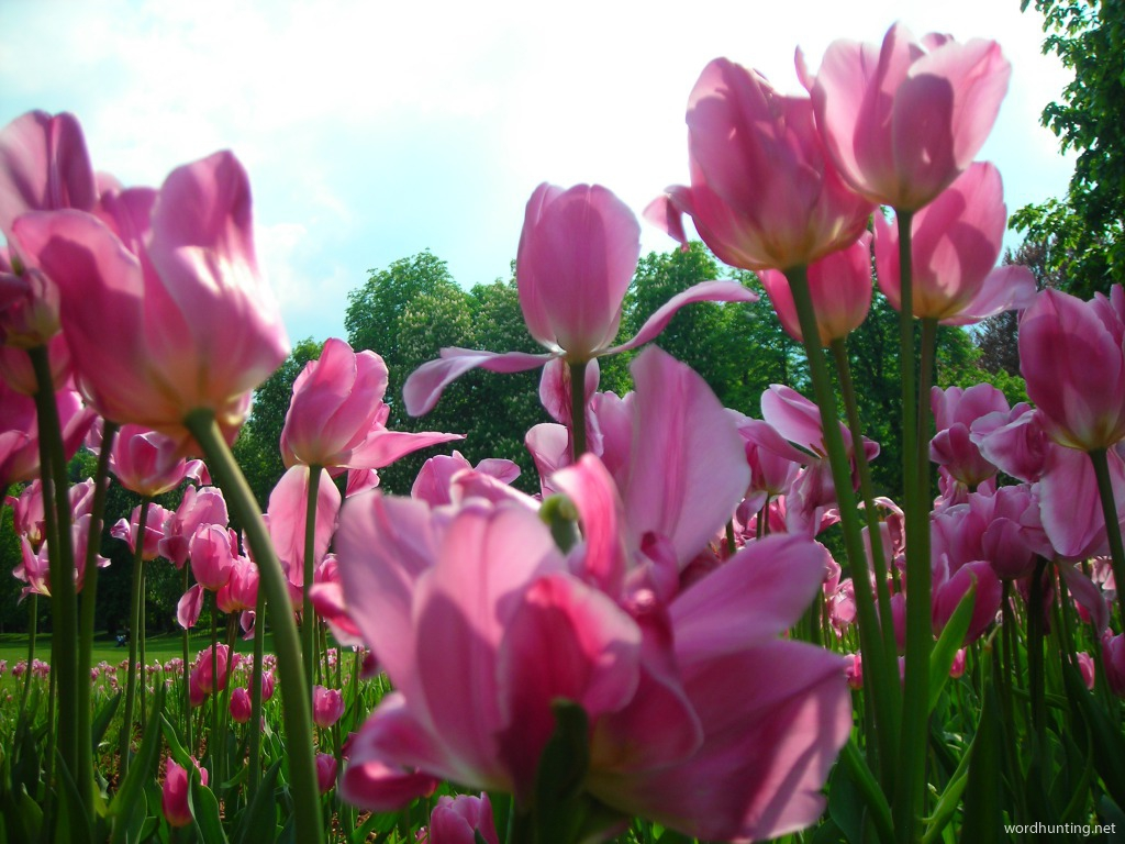 In The Tulips...