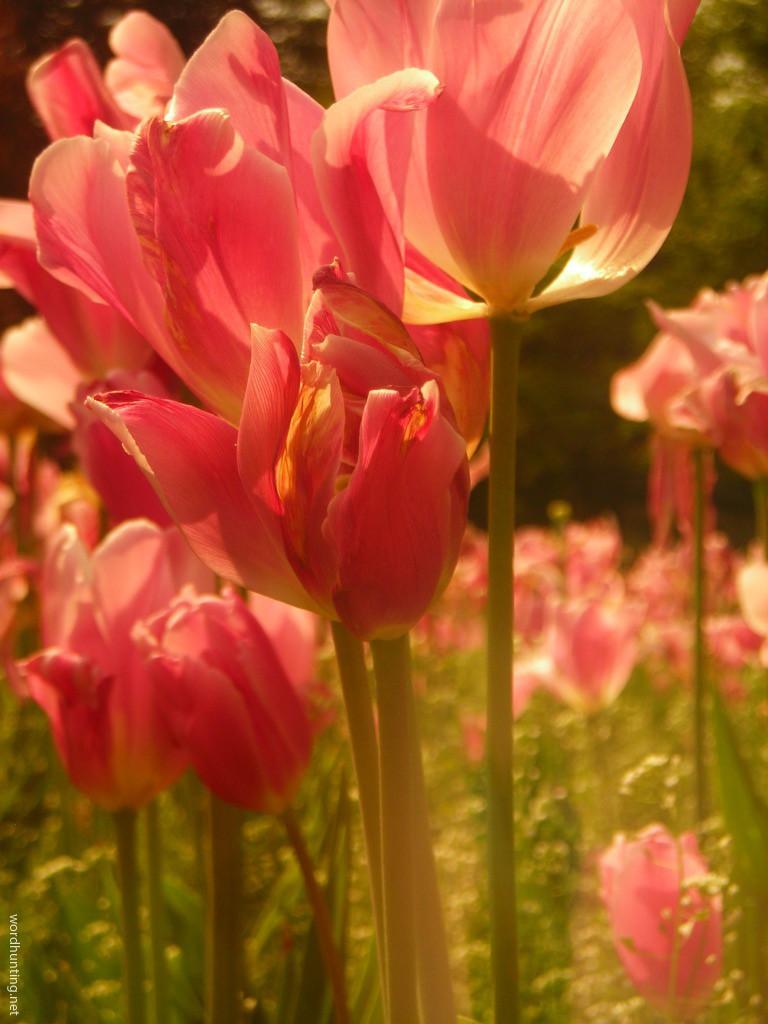 Tulips Through Sunglasses...