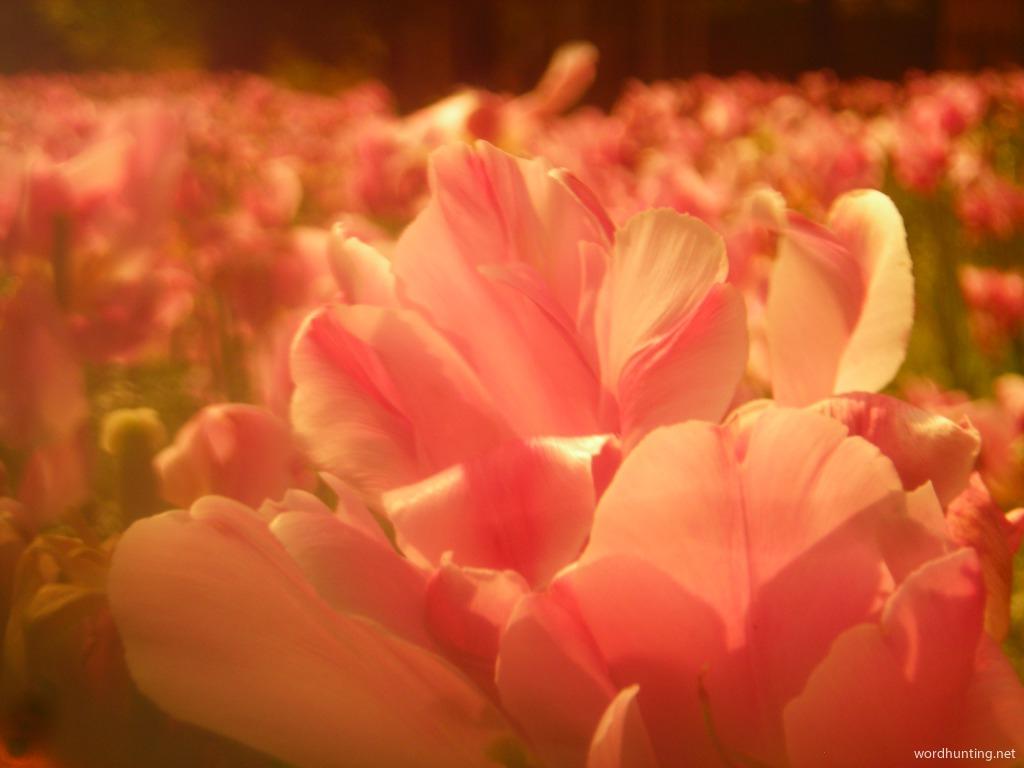 Tulips  Dreams...