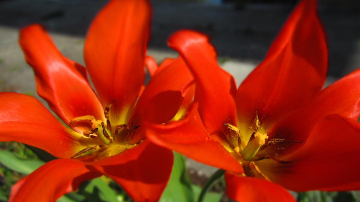 Zarte Tulpen.