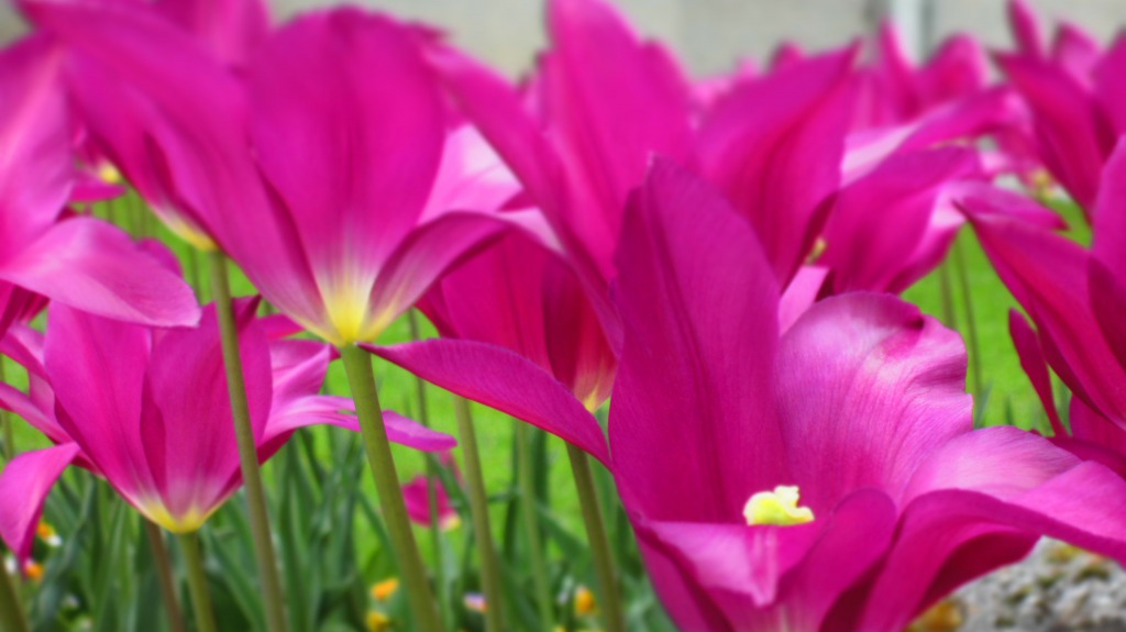 Tulip In Purple.