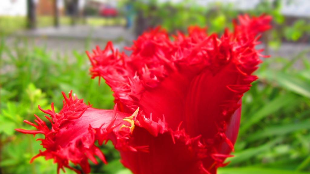 The Wild Red Tulip.