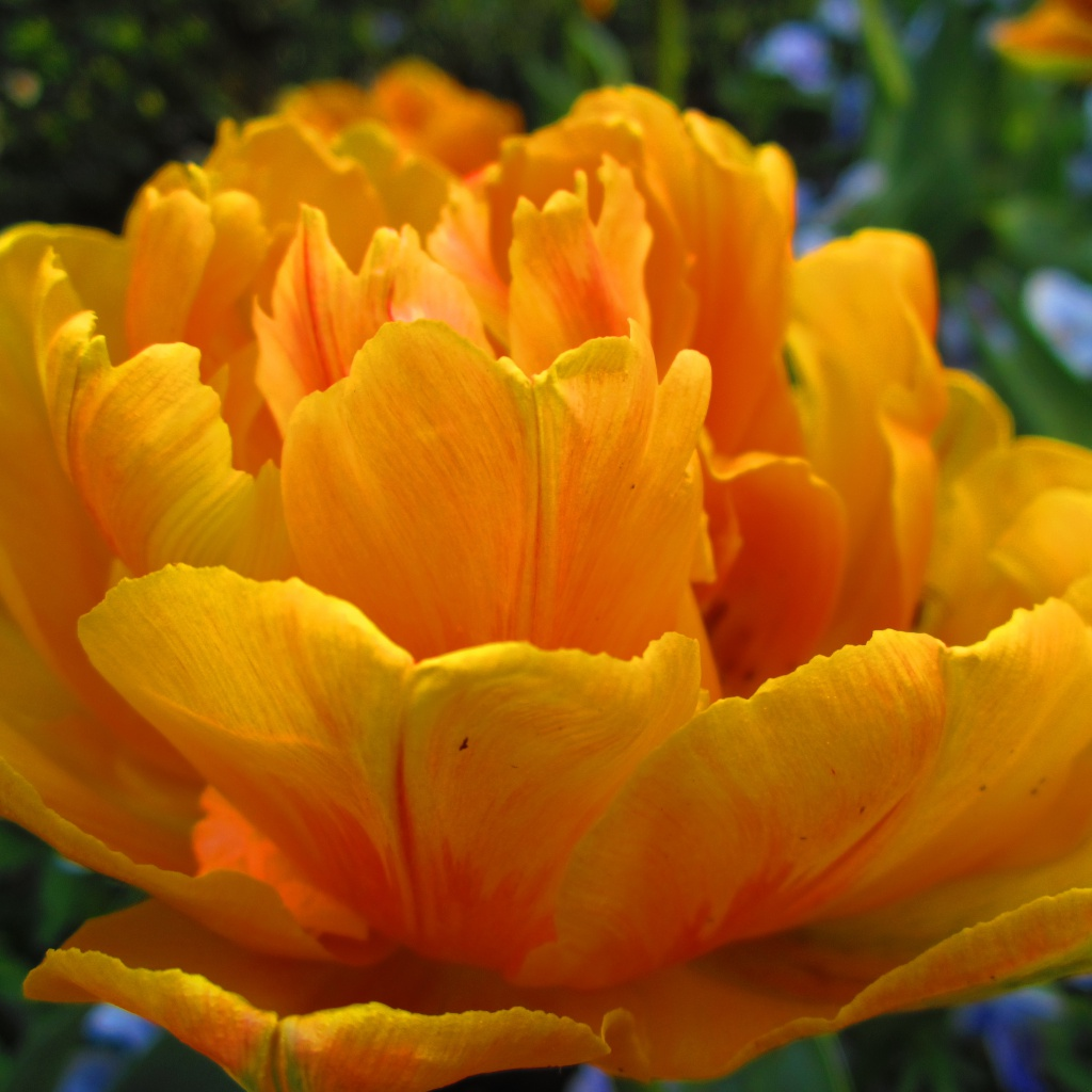 Tulip In Full Bloom.