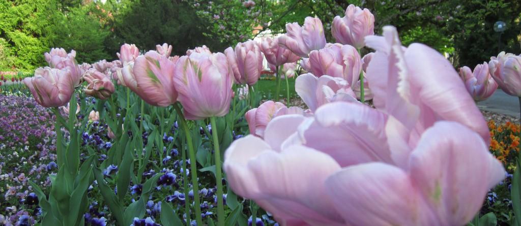Zerzauste Tulpen.