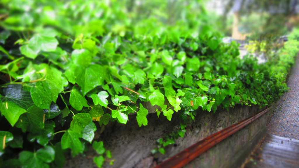 Wet Ivy.