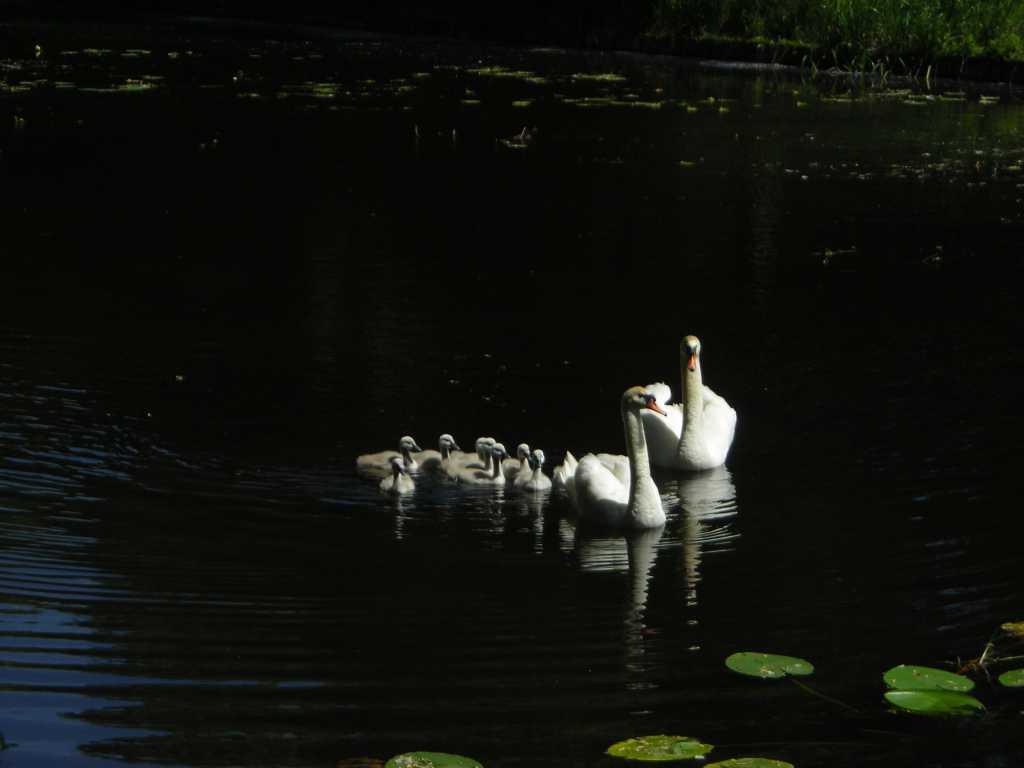Swan Family In Wilanów, Poland.